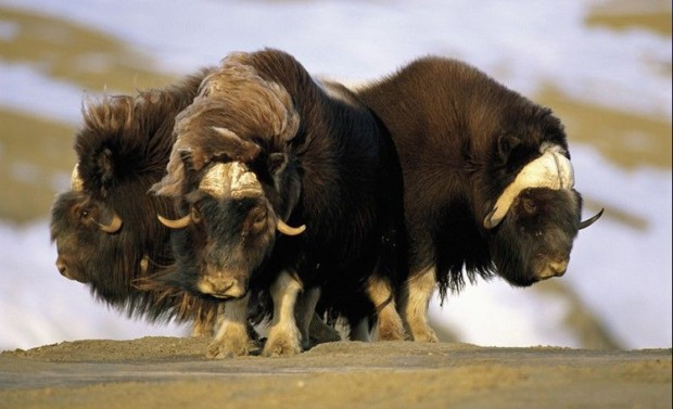 Lembu Greenland