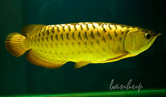 http://amarjamaludin.files.wordpress.com/2011/01/arowana.jpg