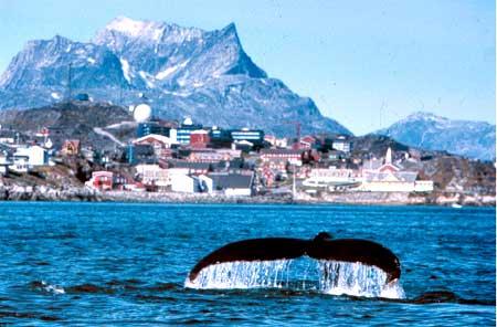 Ikan Paus di Greenland
