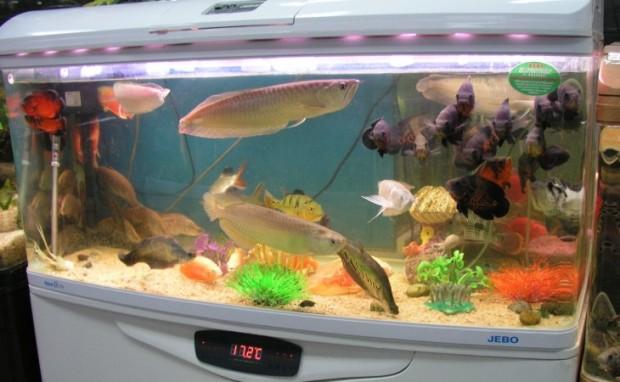 arowanas and aquarium