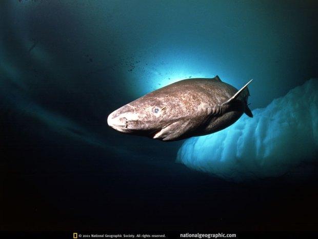 Ikan Jerung di Greenland