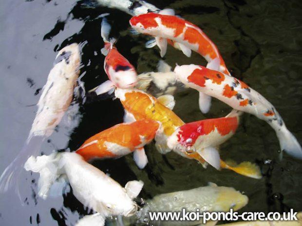 Ikan koi dan Air Adalah teras utama taman jepun