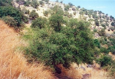 pokok_yahudi