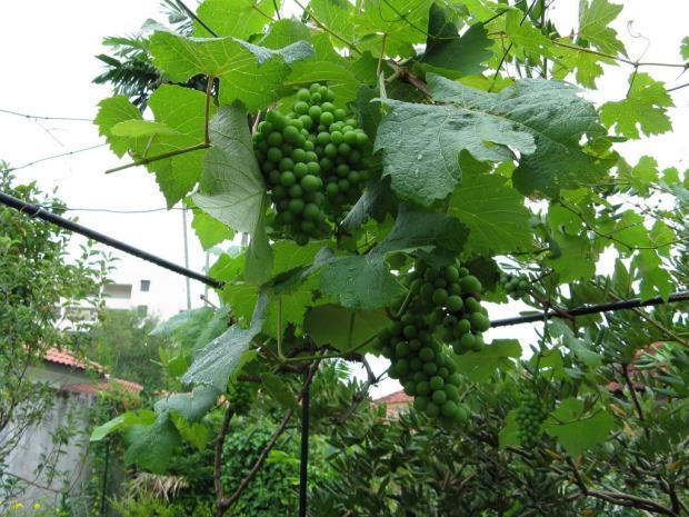 Anggur di Malaysia