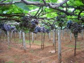 Sistem Penanaman Anggur