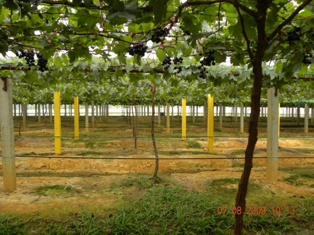 Sistem Tanah untuk penanaman anggur di Malaysia